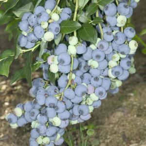 Блюкроп (Bluecrop)