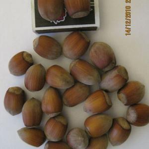 Орехи сорт Косфорд