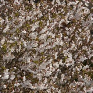 Prunus incisa Kojou-no-mai (Японская вишня)
