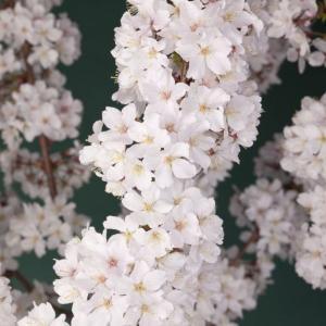 Prunus nipponica Brillant (Японская вишня)