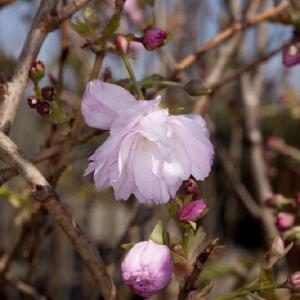Prunus serrulata Pink Perfection (Японская вишня)